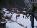 Herd of Elk in Woody's yard